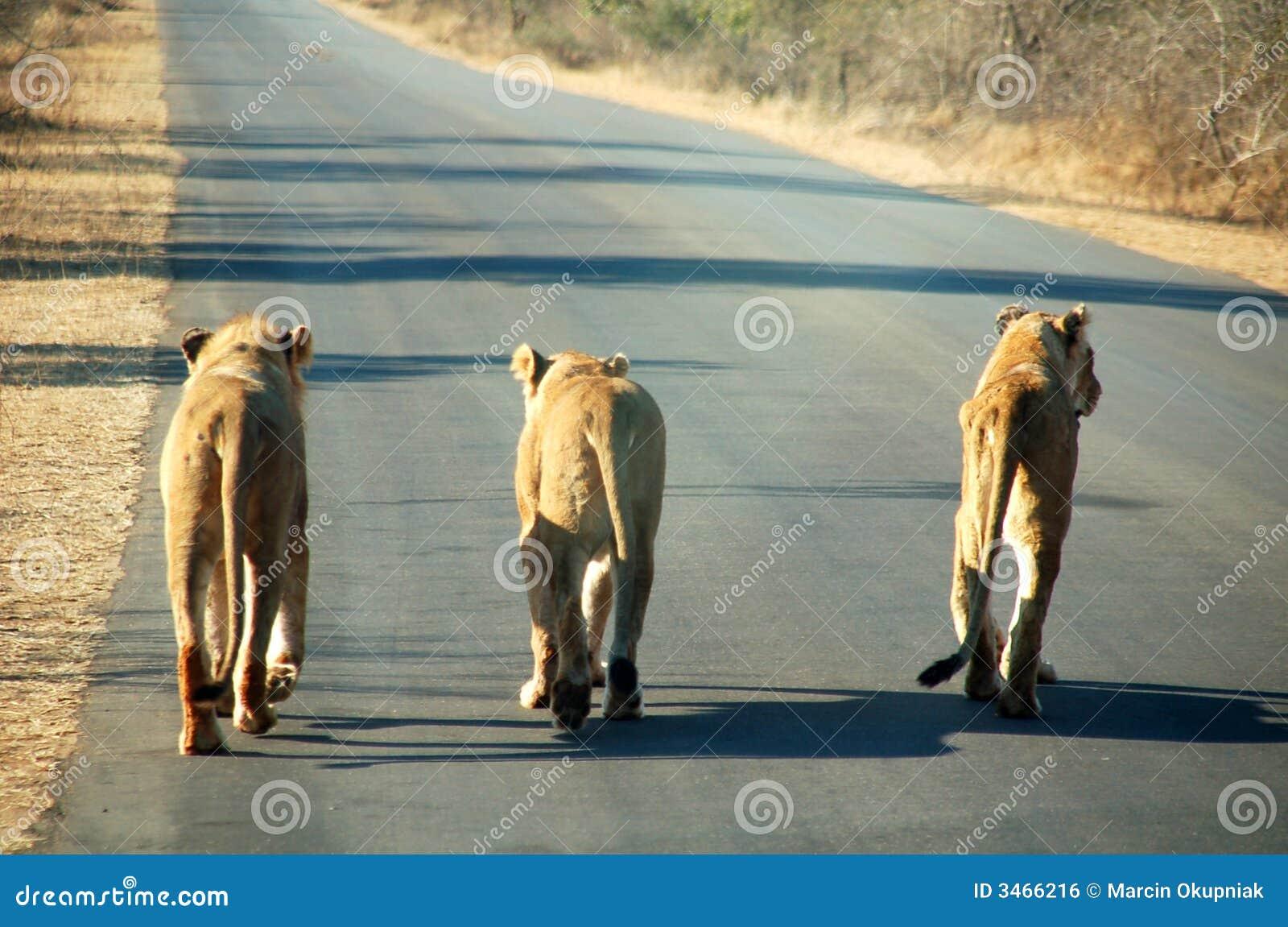 Leones surafricanos en el camino