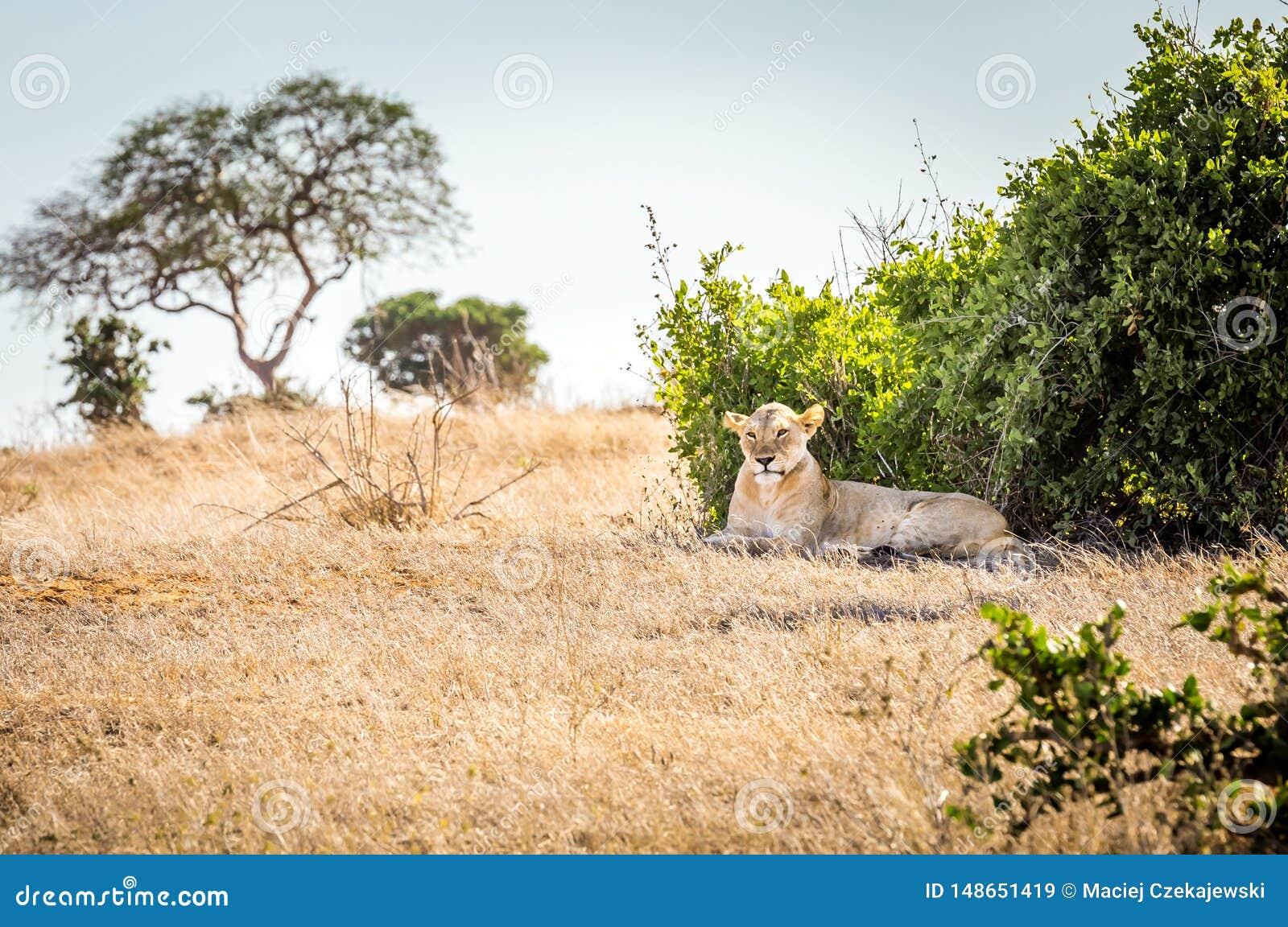 Leonessa africana nel Kenya
