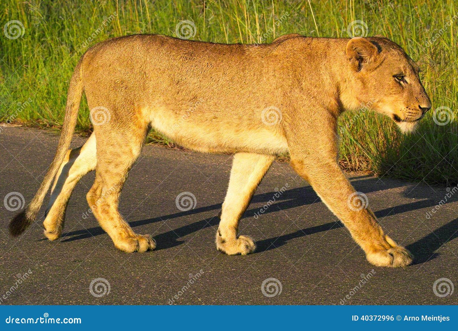 Leonessa (panthera Leo) nel parco nazionale di Kruger