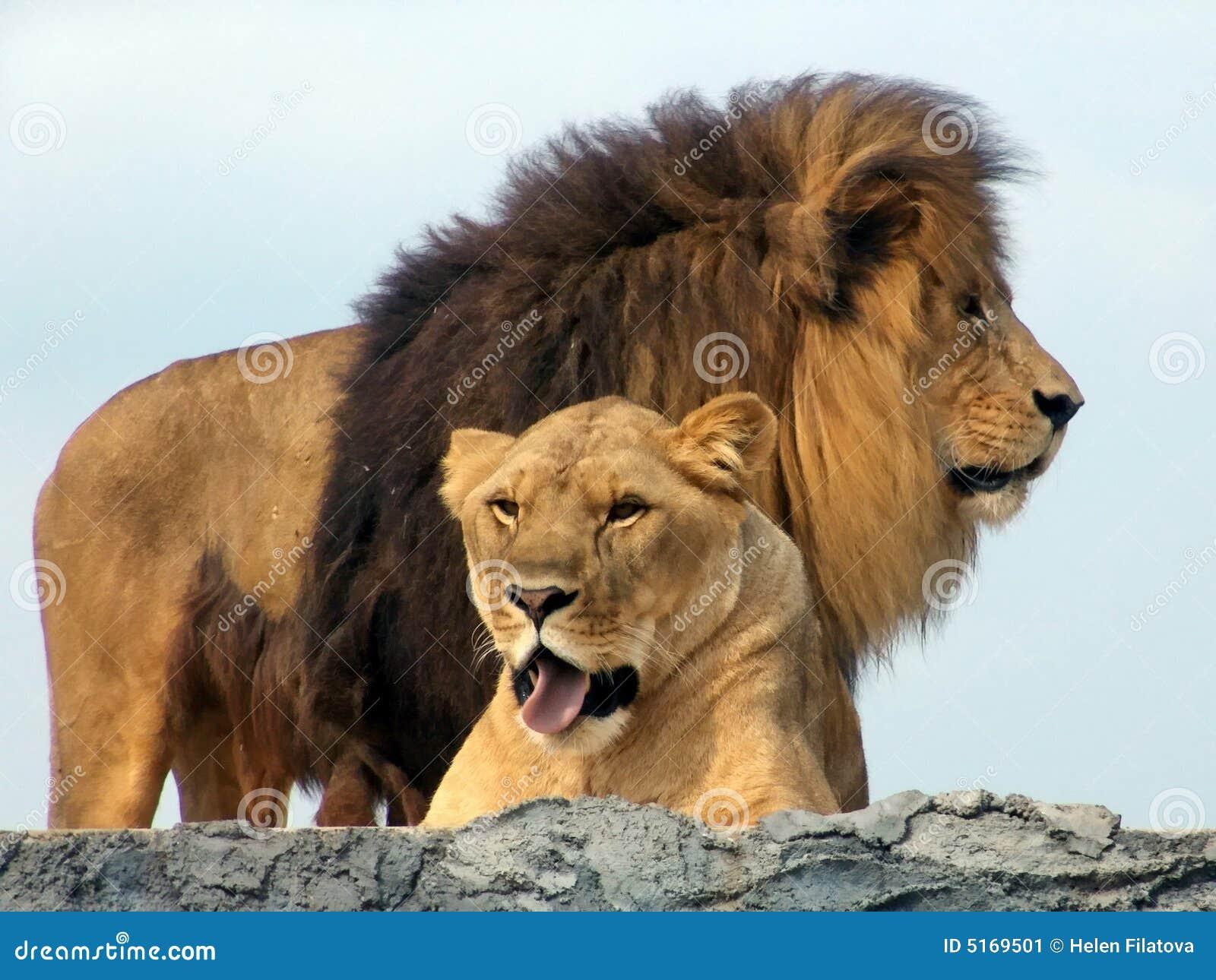 Leoni Safari Africano Del Leone Immagine Stock Immagine