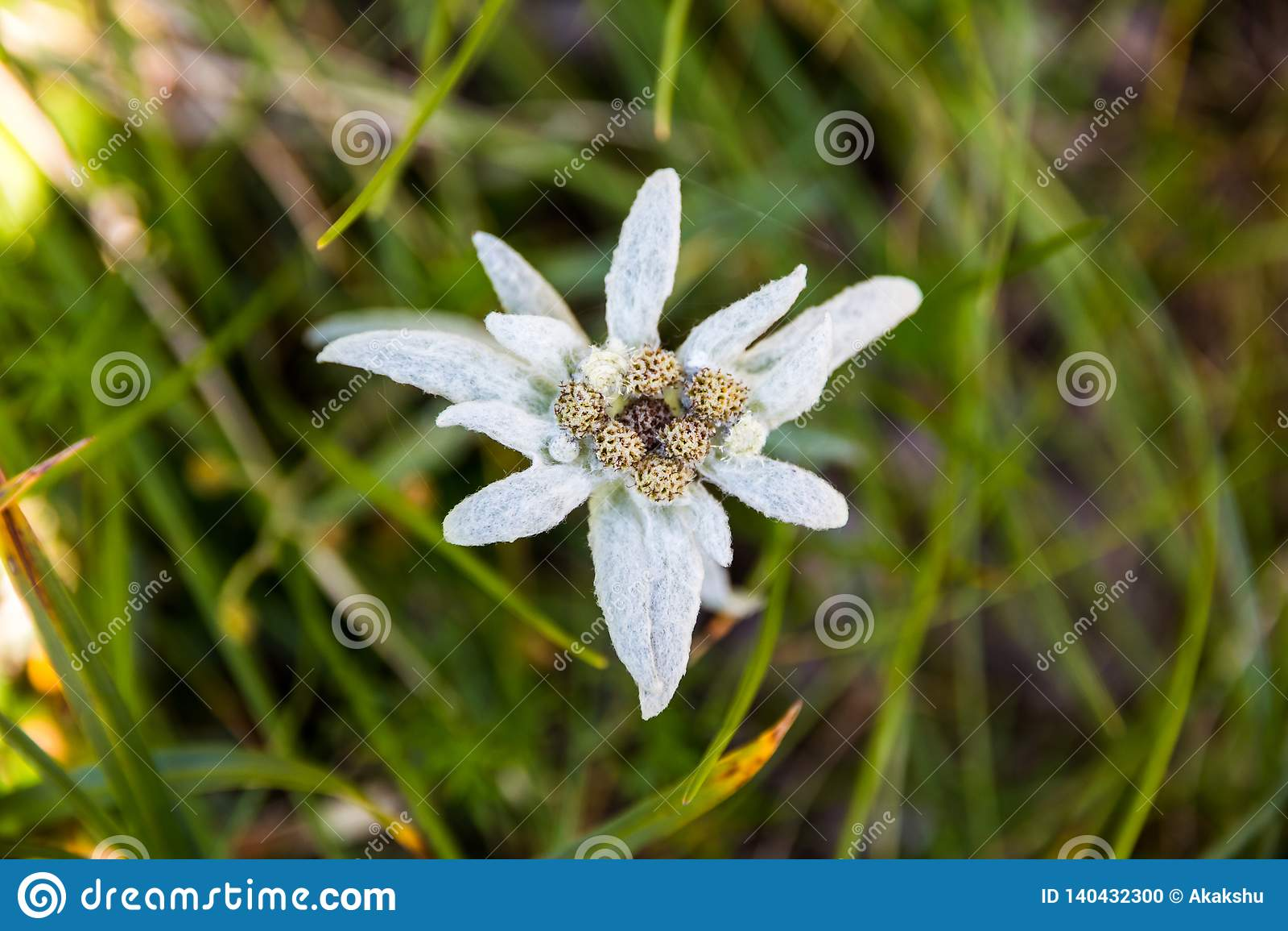 Leontopodium nivale lub szarotka, zbliżenie Ten halny kwiat należy stokrotki lub słonecznika rodziny Asteraceae