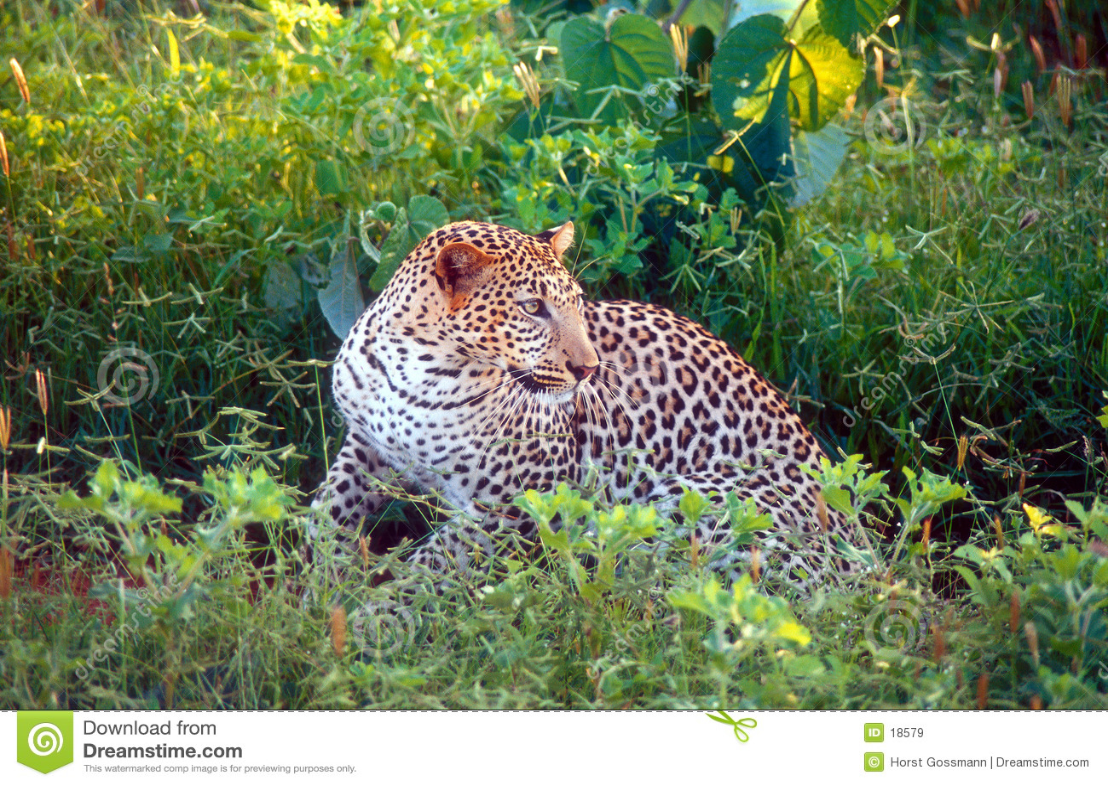 Leopard προσοχή