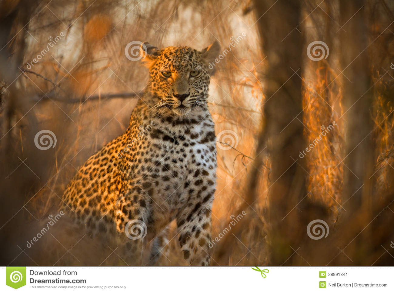 Leopard στο εθνικό πάρκο Kruger