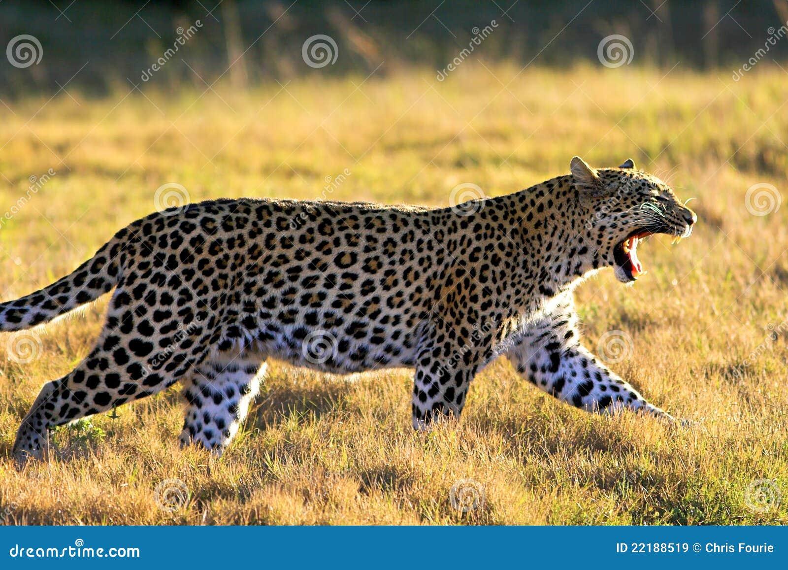 Leopard χασμουρητό