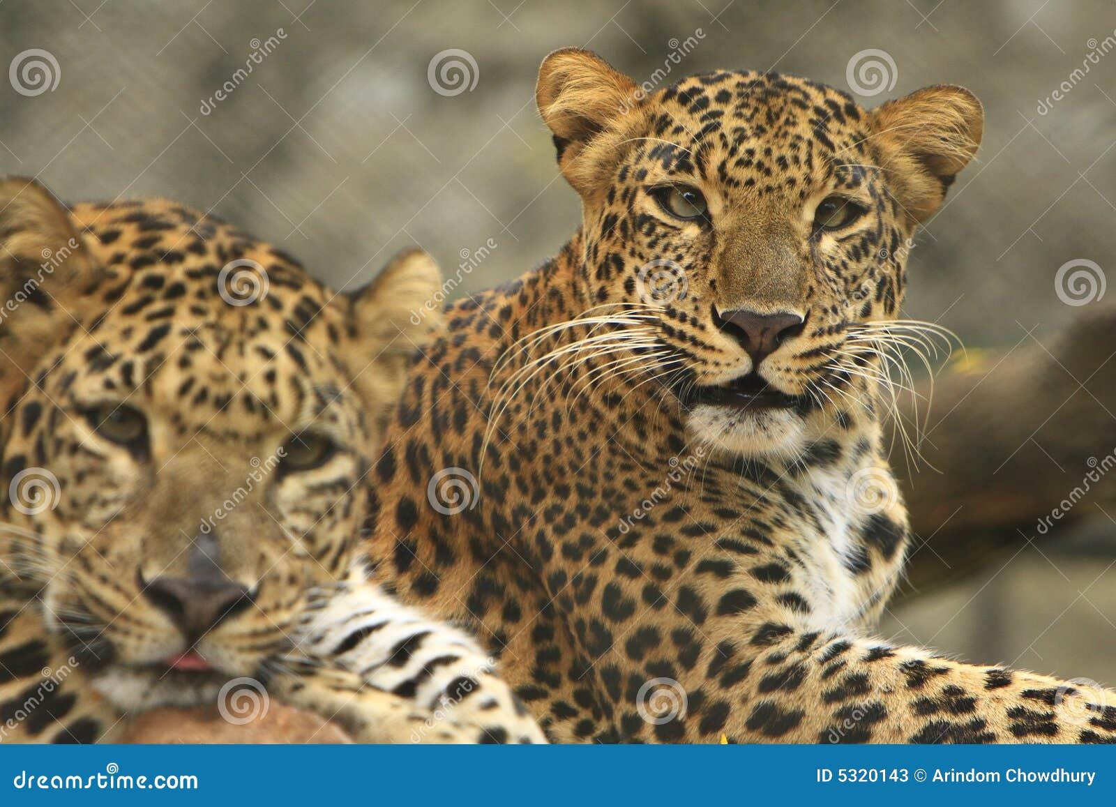 Download Leopard stock image. Image of hunter, lying, leopards - 5320143