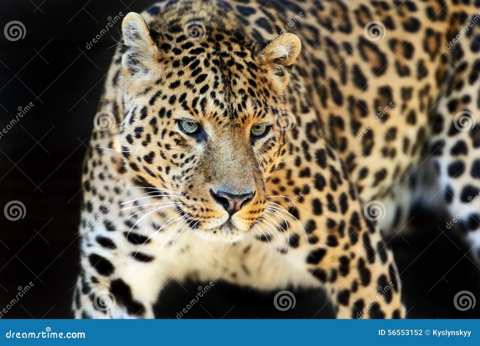 Download Leopard στοκ εικόνες. εικόνα από θηλαστικά, κένυα, αφρική - 56553152