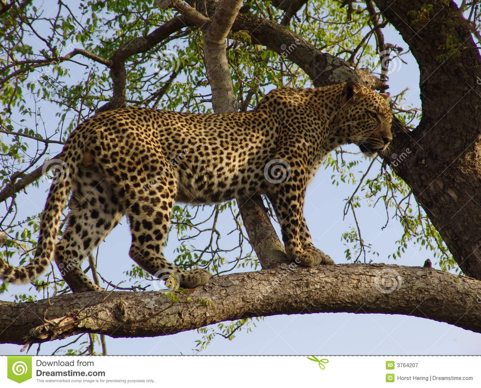 Leopard Baum