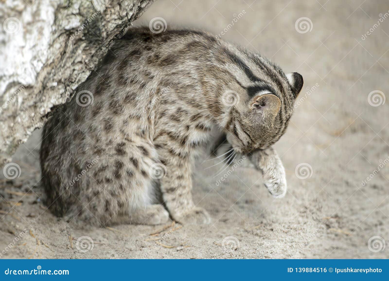 Leopard bengal cat. Prionailurus Felis bengalensis euptilura - wild animal live in tropical rain forest, South East Asia