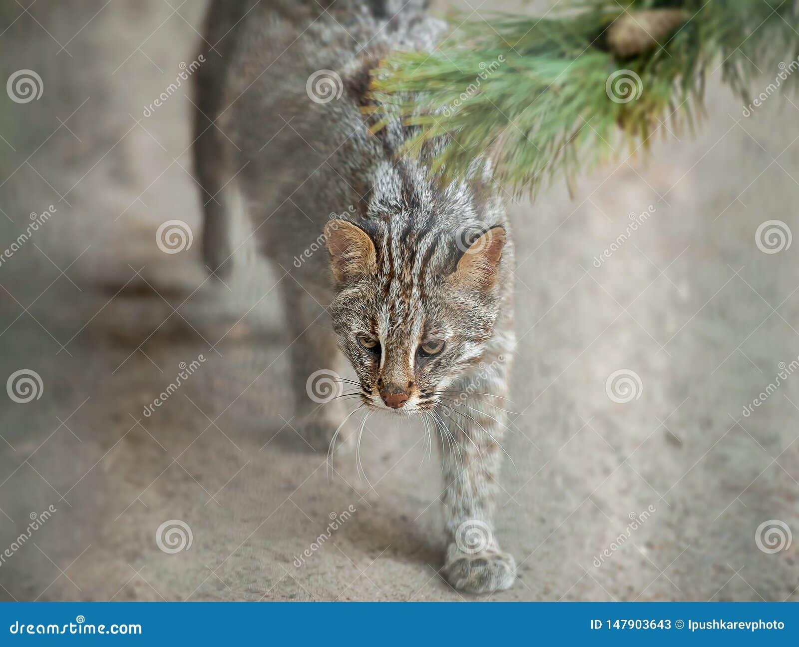Leopard bengal cat. Prionailurus Felis bengalensis euptilura - wild animal live in tropical rain. Small tiger mammal