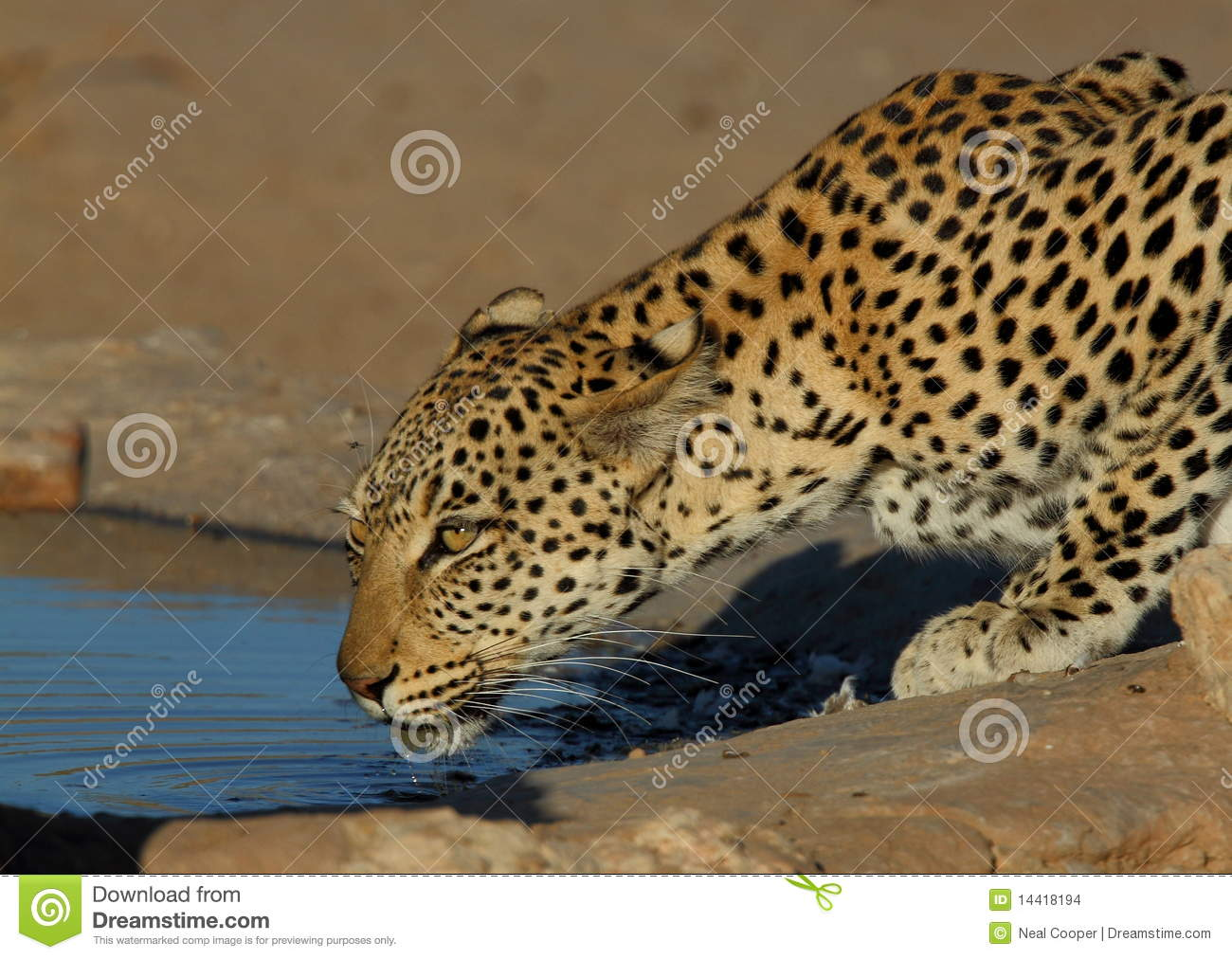 Leopard. Wild Big Cat. Stock Photography | CartoonDealer ...
