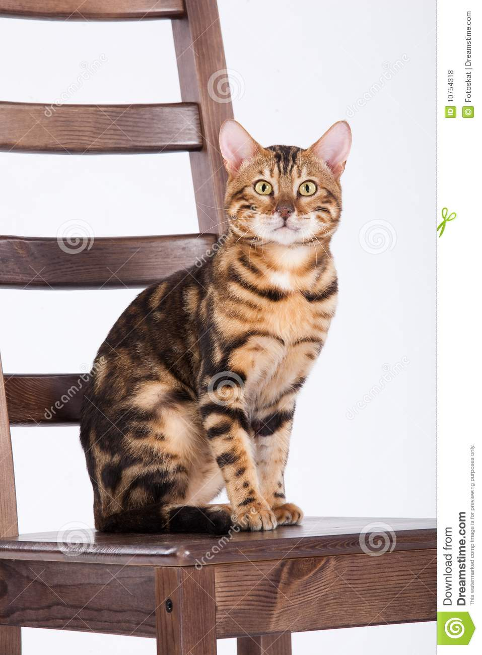 Leopard Cat On A Chair Royalty Free Stock Photos - Image: 10754318