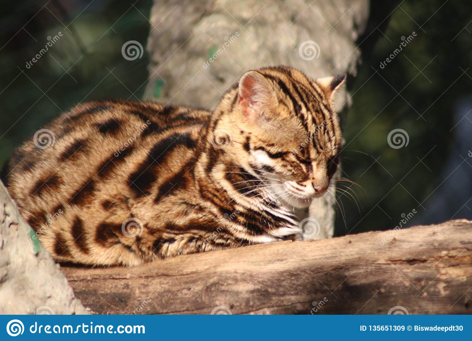 Leopard Cat In Natural Forest Stock Image - Image of forest