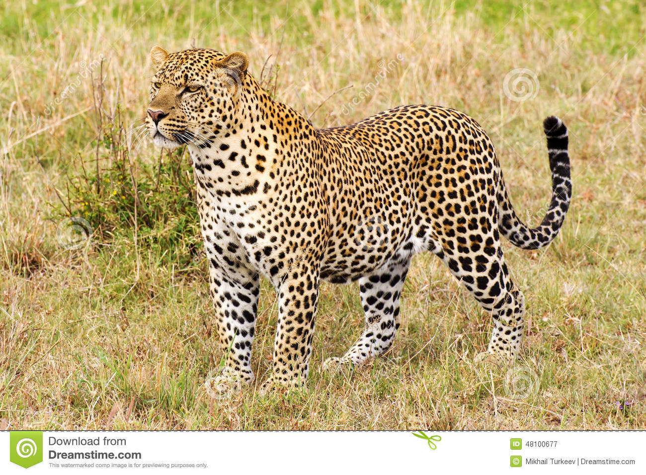 leopard close up side view stock photo image 48100677 leopard clip art image leopard clip art image