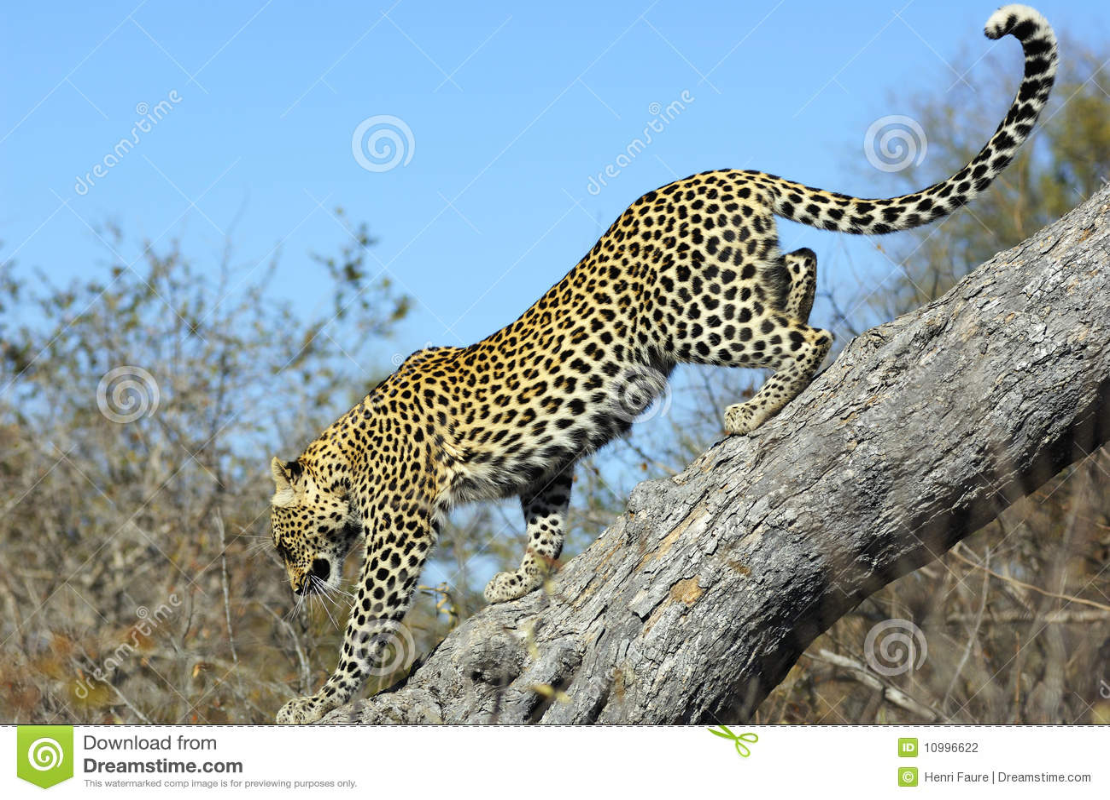 Leopard descending a tree