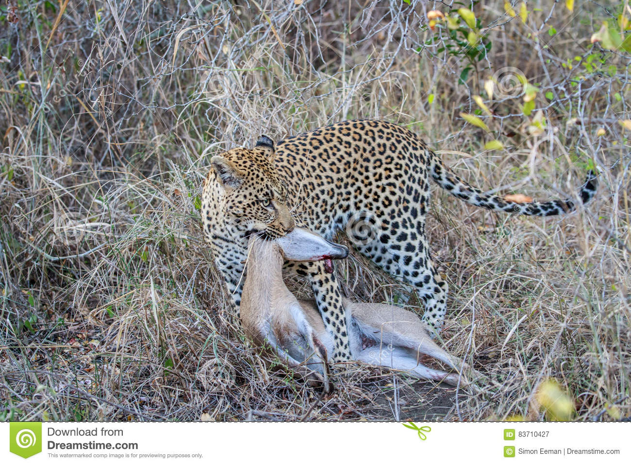 Leopard With A Duiker Kill. Stock Photo