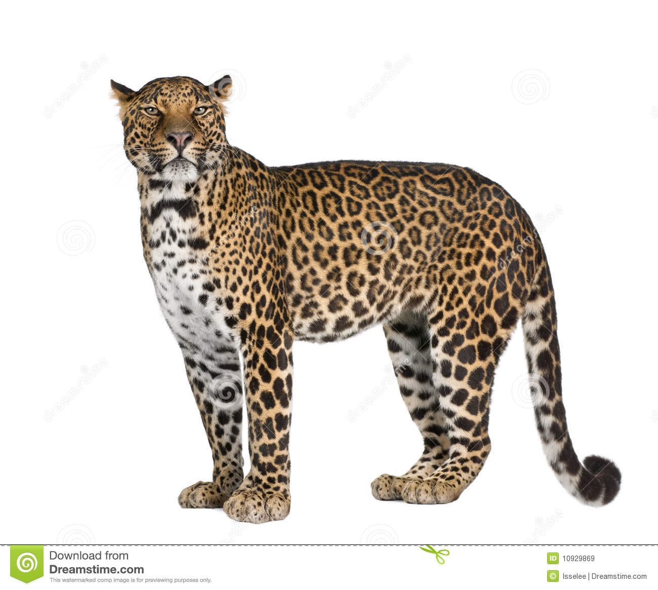 Leopard in front of a white background