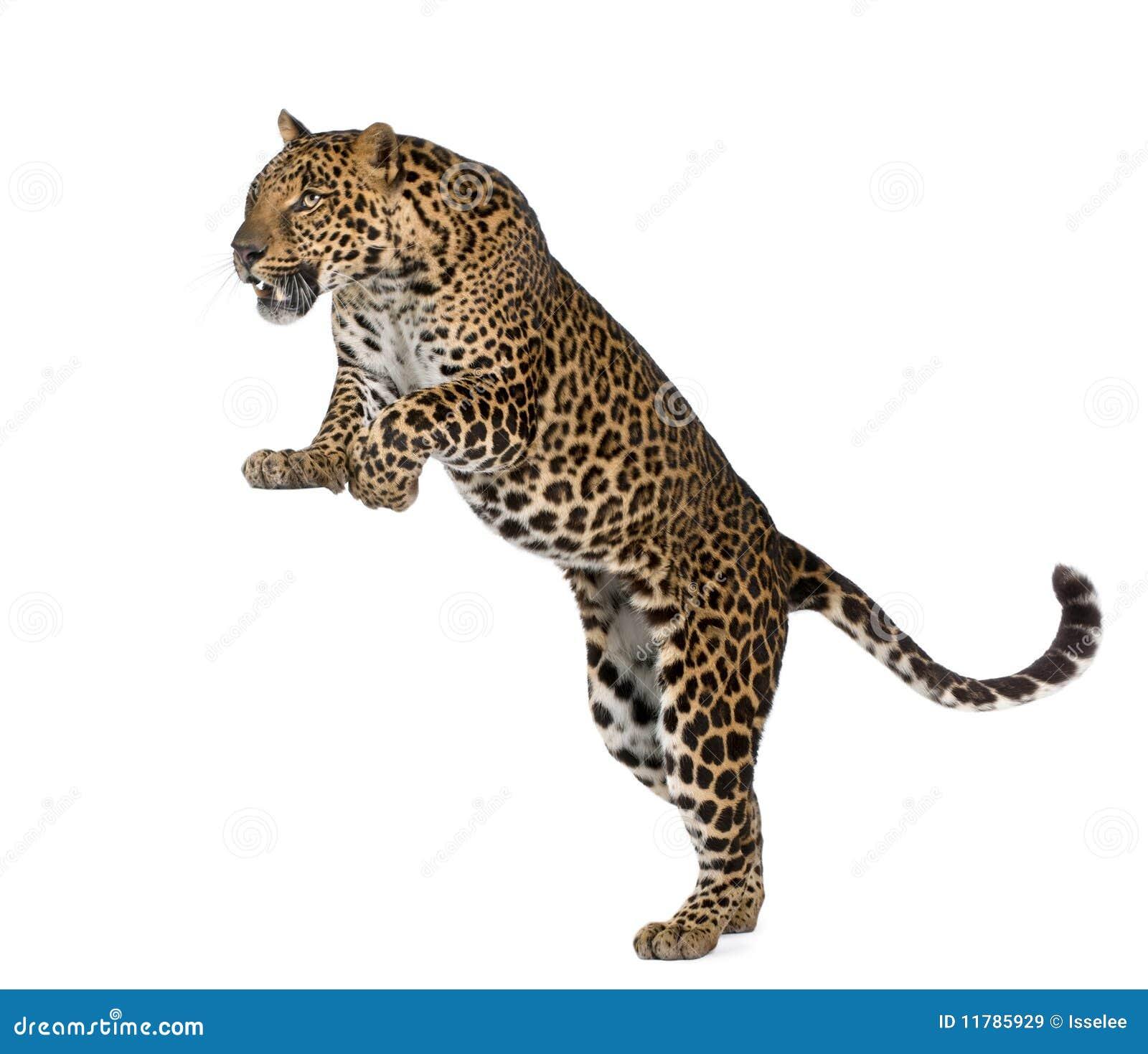 leopard white background wwwpixsharkcom images