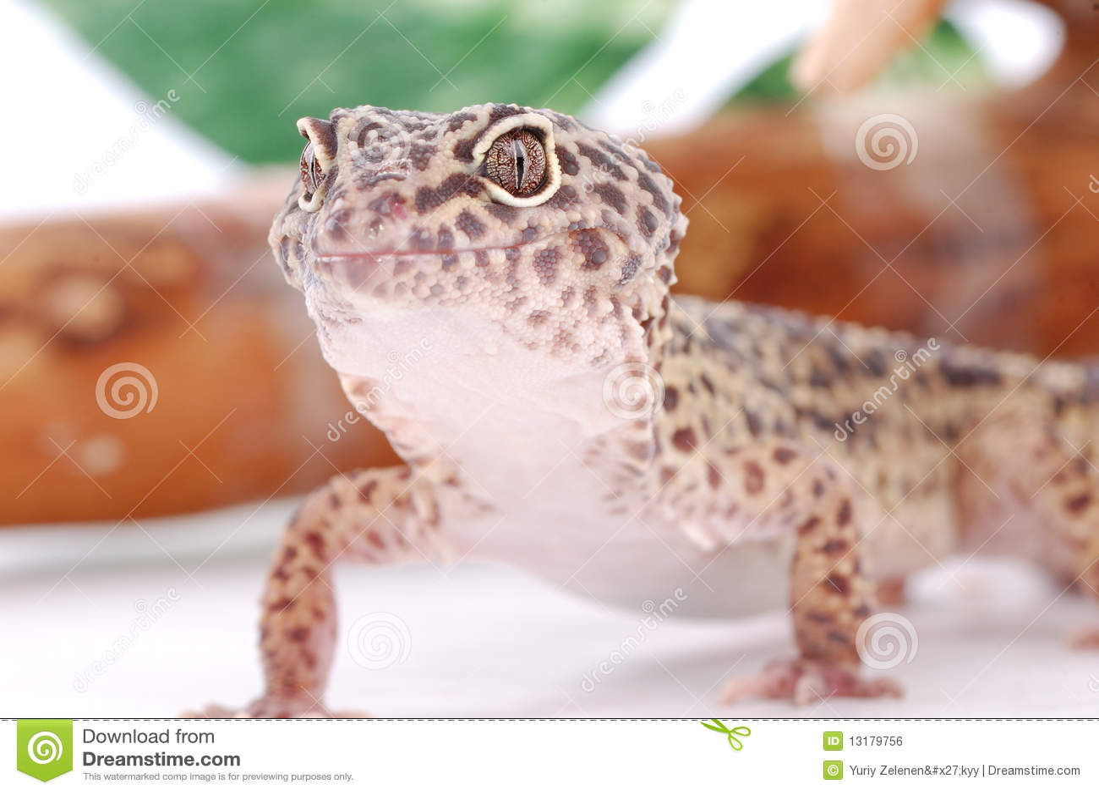 Leopard gecko eublepharis σαύρα τροπική