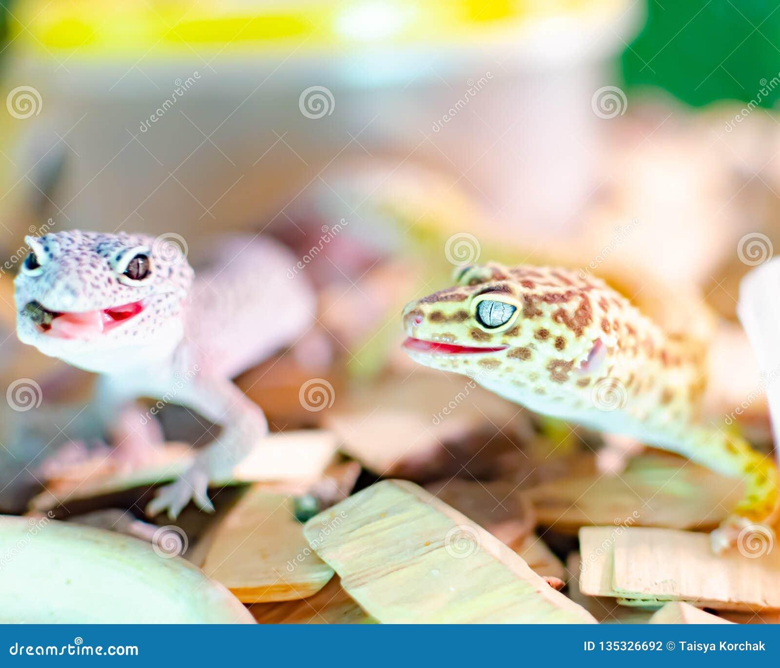 Leopard gecko eublepharis macularius Ερπετά προσοχής και αναπαραγωγής στο σπίτι