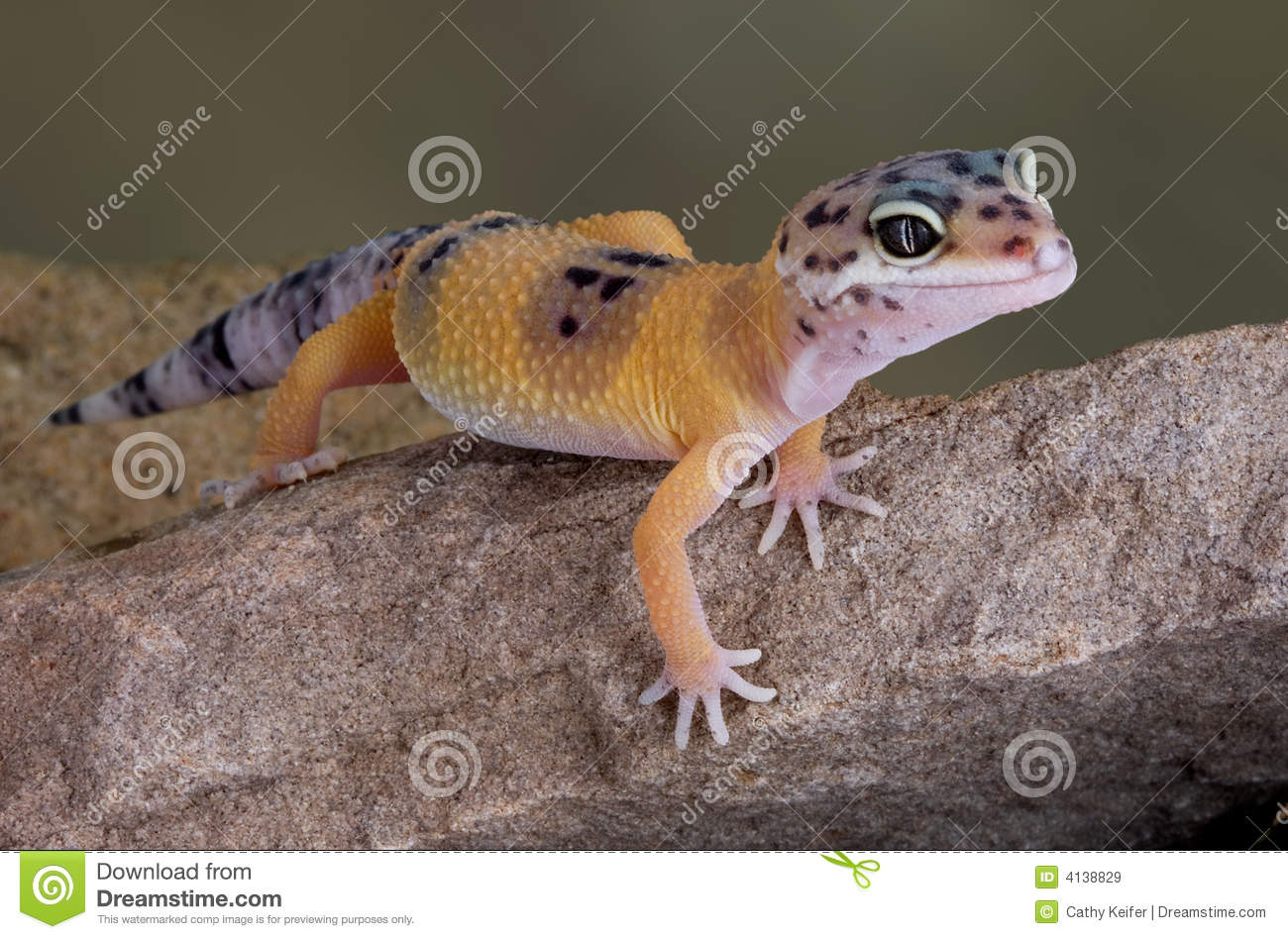 Leopard Gecko on rock