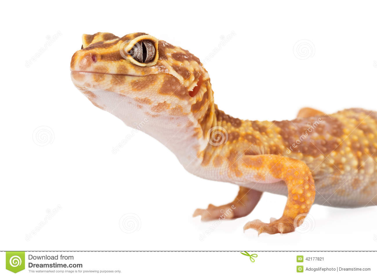 Leopard Gecko Side View Cropped Stock Photo Image 42177821