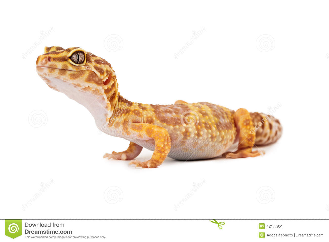 Leopard Gecko Side View Stock Photo Image 42177851