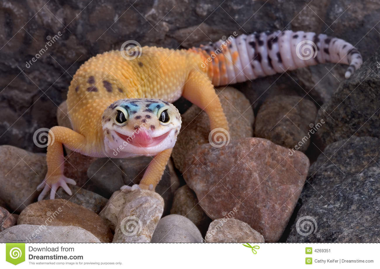 Leopard Gecko Sticking Tongue Out Stock Image Image Of