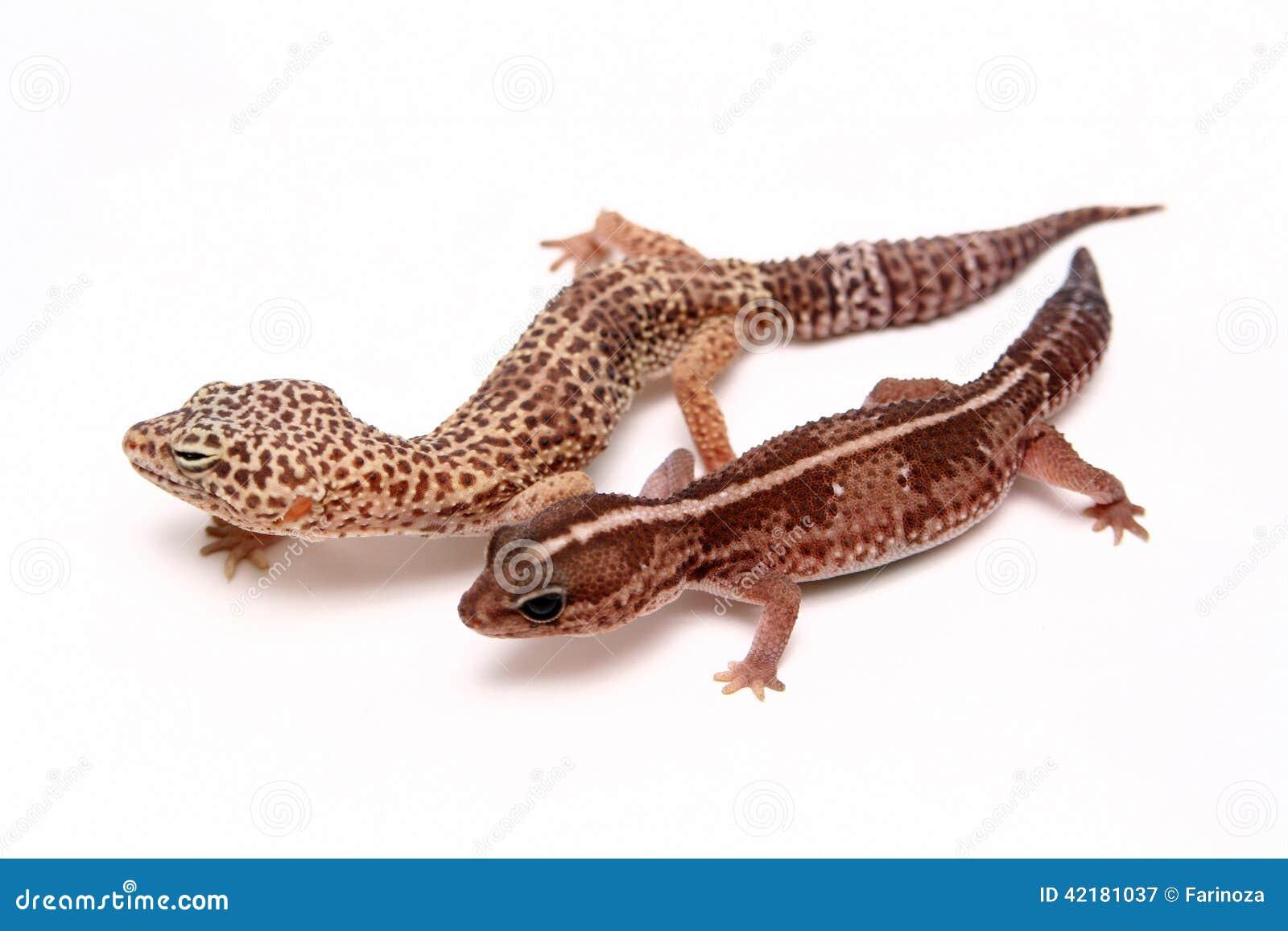 Leopard gecko on white