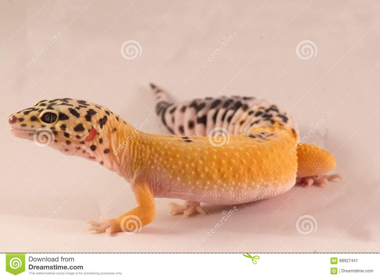 leopard geckos open mouth stock image image of leopard 88927441