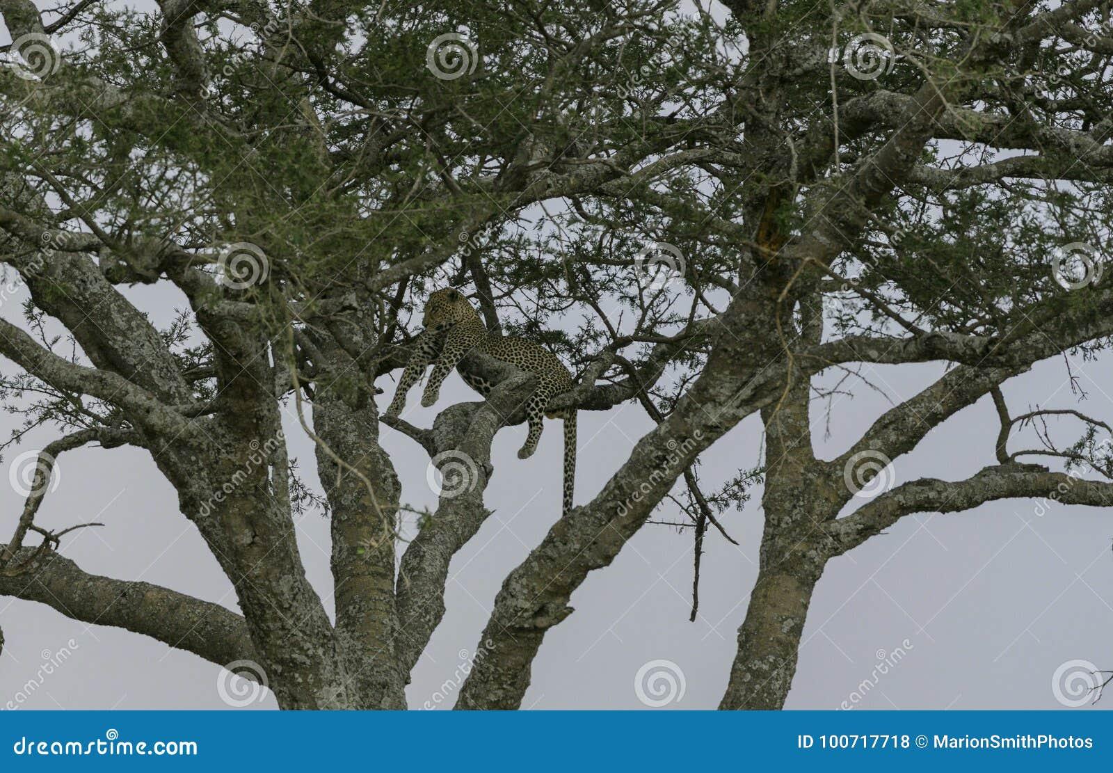 Leopard hoch oben im Baum, liegend über Niederlassungen und nach links schauen