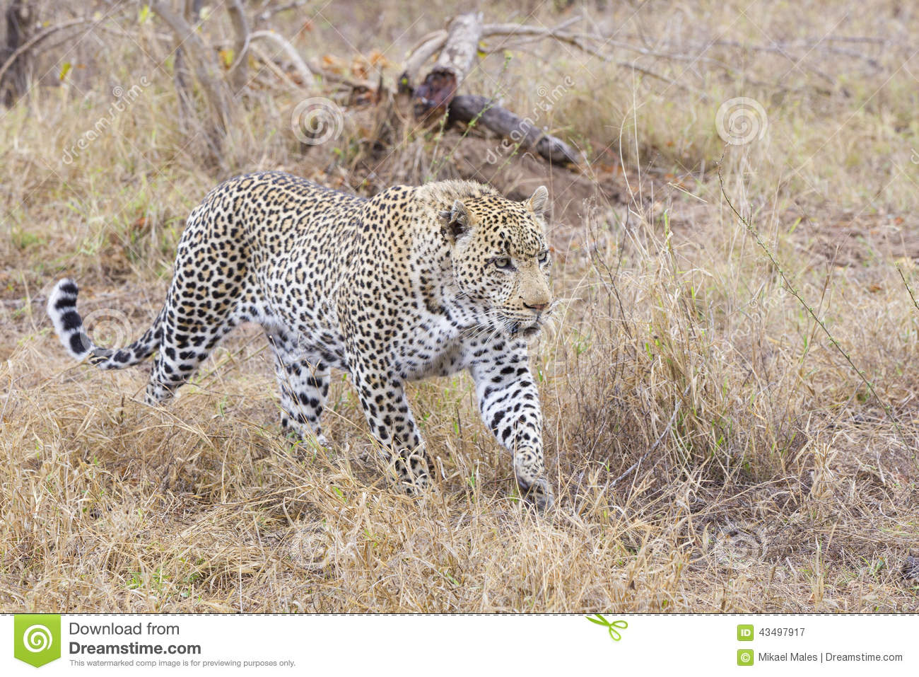 leopard on the hunt in south africa stock photo - image: 43497917