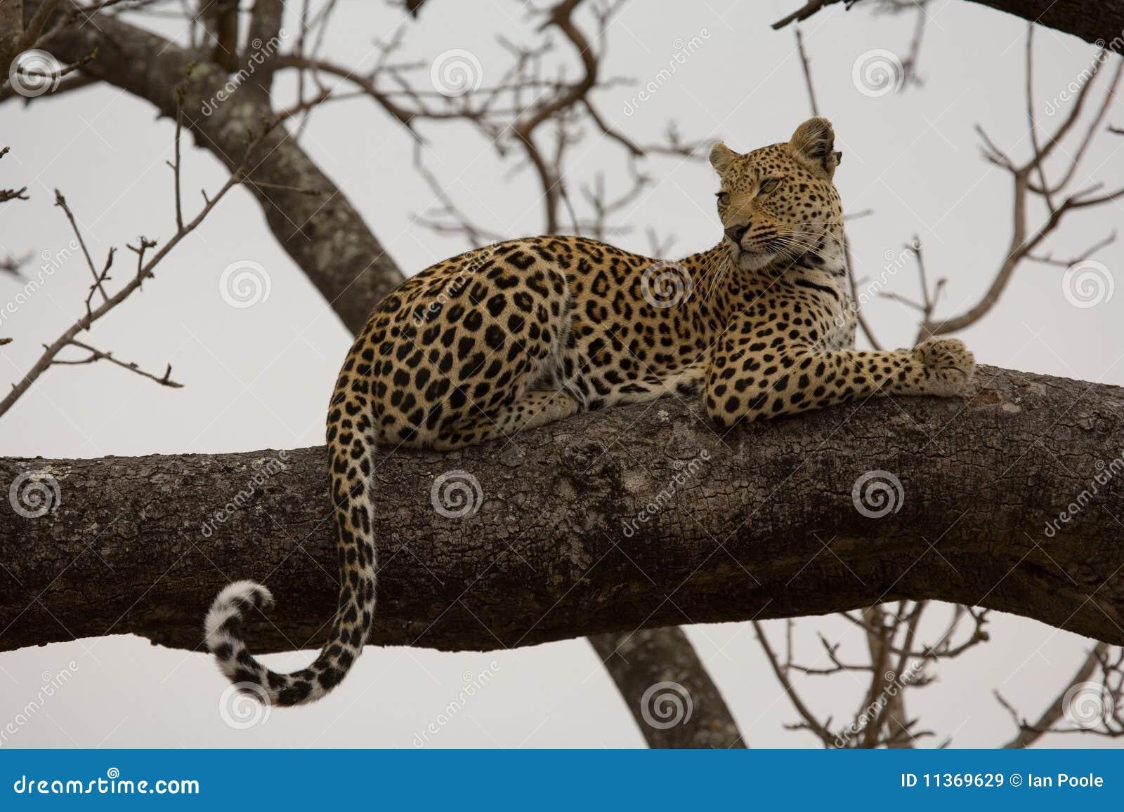 Leopard Im Baum Stockbild Bild Von Leben Katze Spiel