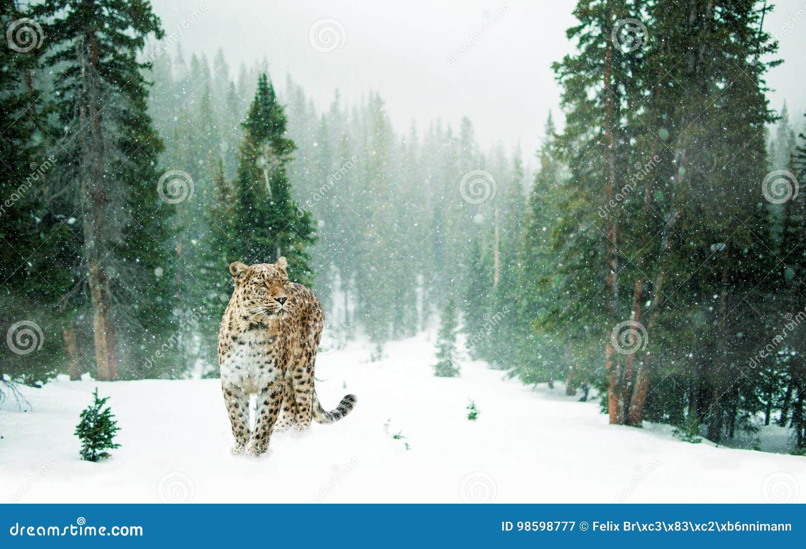 Leopard im schneebedeckten Wald