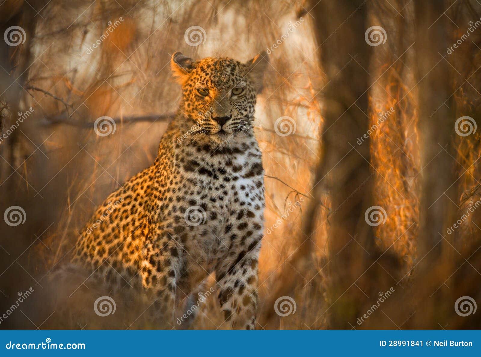 Leopard in Kruger Nationalpark