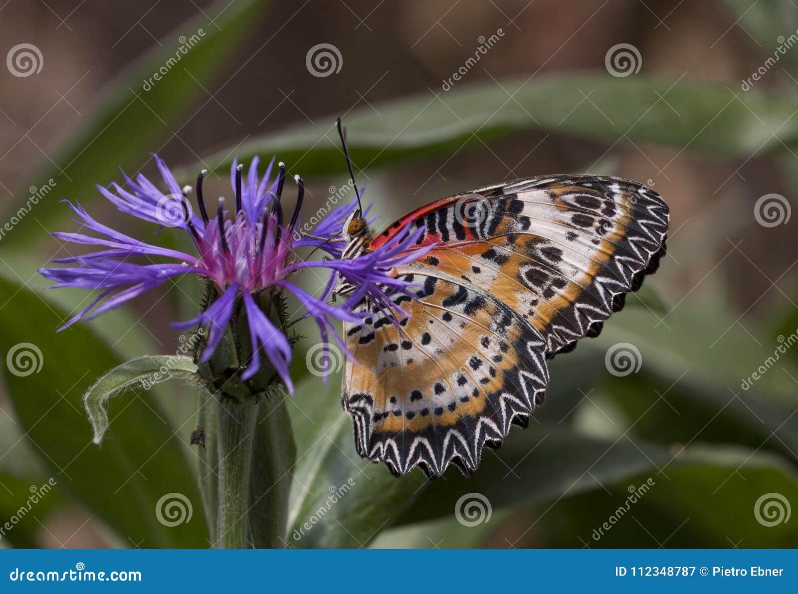 Leopard lacewing cethosia cyane butterfly