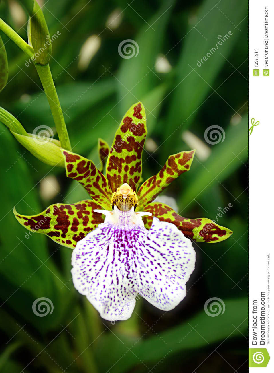 leopard orchid stock image image of plant bloom orquidea 12377511. Black Bedroom Furniture Sets. Home Design Ideas