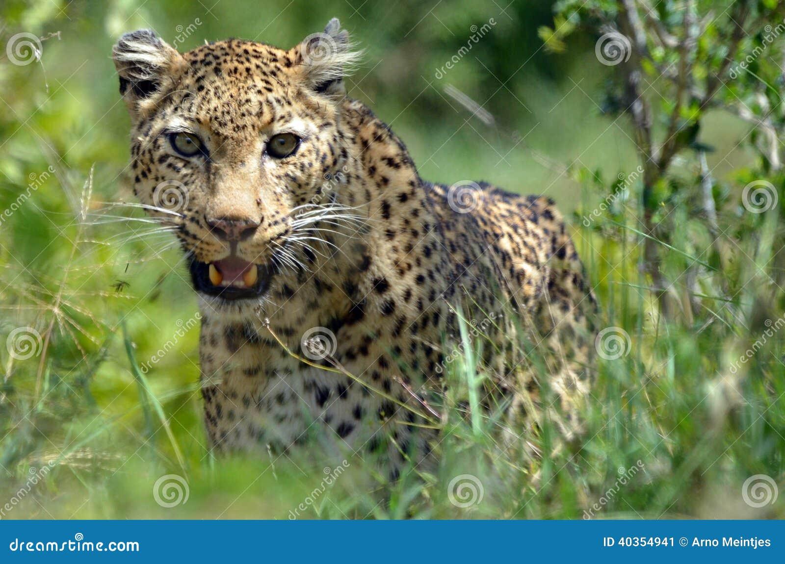 Leopard (Panthera pardus), Kruger Nati