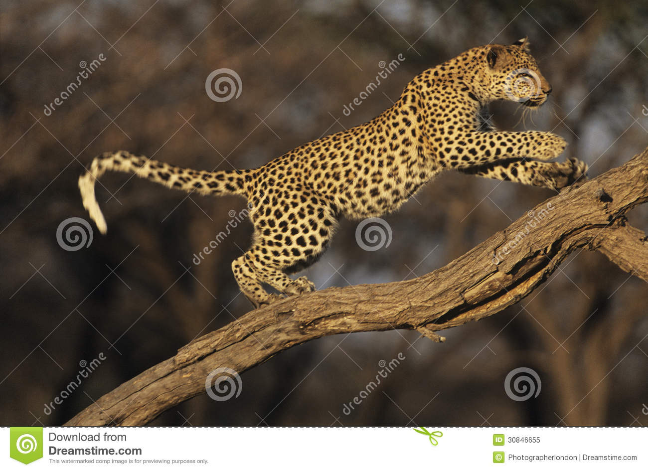 Leopard (Panthera Pardus) standing on branch
