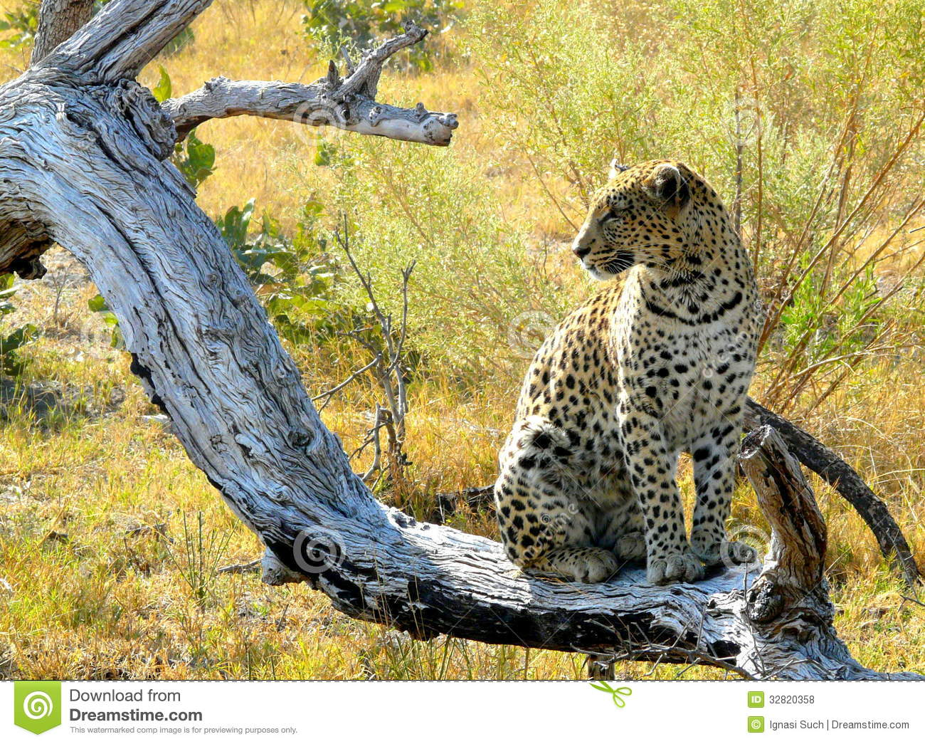 Download Lonely Female Leopard Waits Quiet Over A Dead Tree's Branch Looking For Her Pray In Pom-Pom Island Private Game Reserve, Stock Photo - Image of african, adventure: 32820358