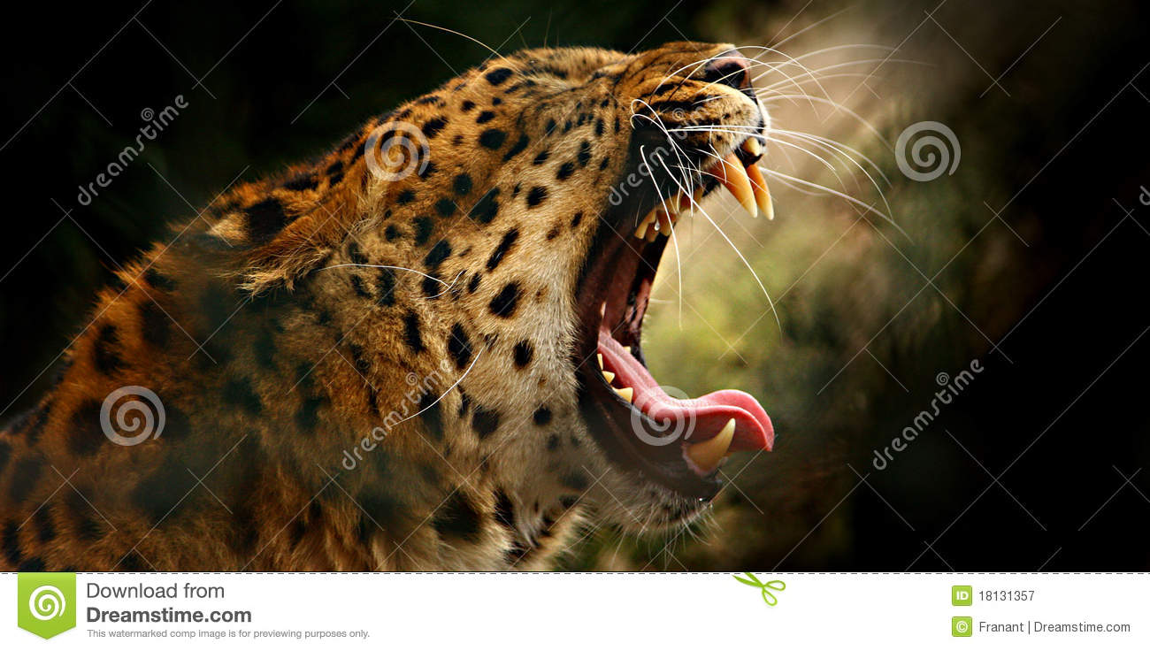 Leopard Roar Royalty Free Stock Photography - Image: 18131357