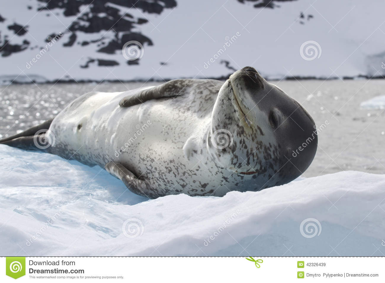 Leopard seal lying on the ice against the backdrop of the mounta
