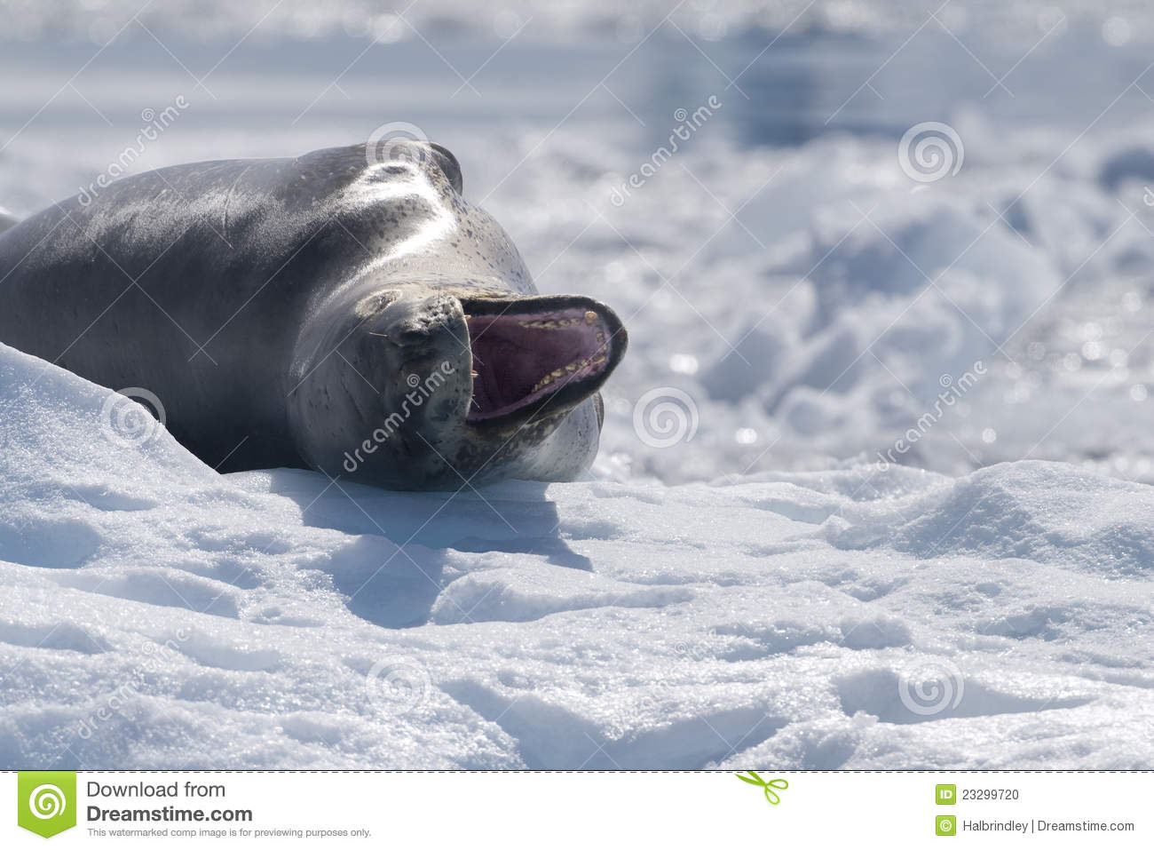 leopard seal with open mouth  antarctica stock photo clip art sounds free downloads clipart sound bytes