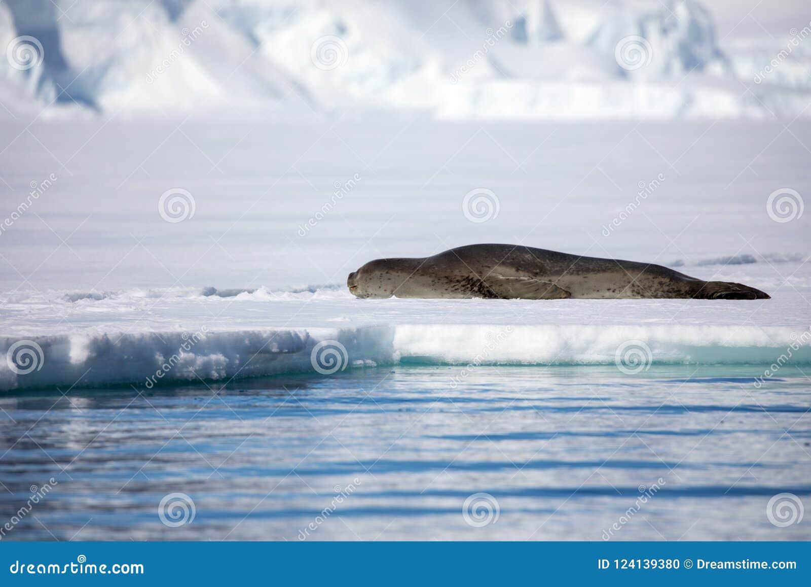 Leopard seal sitting on a iceberg