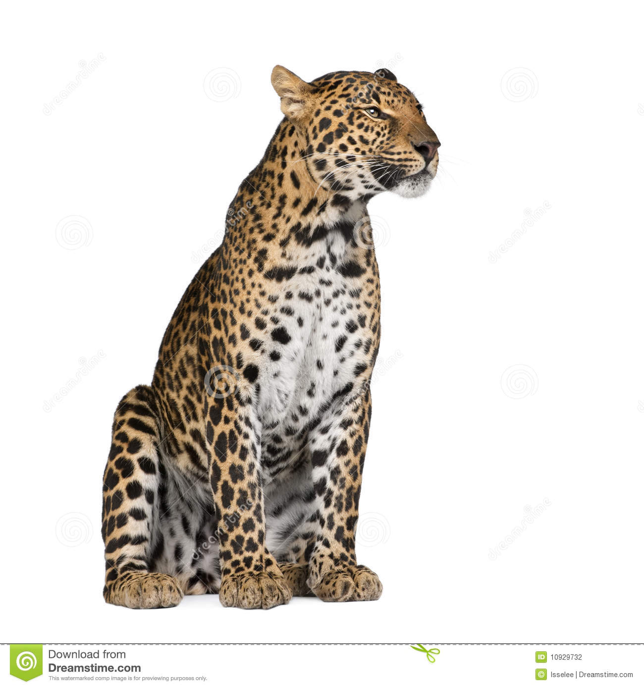 pardus map with Stock Photography Leopard Sitting Front White Background Image10929732 on Stock Image Labrador Retriever Puppy Standing Panting Months Old Isolated White Image30816291 besides Black Leopard Enoch additionally Leatherback Sea Turtle furthermore 6113245244 additionally Royalty Free Stock Images Leopard Front White Background Image10929869.