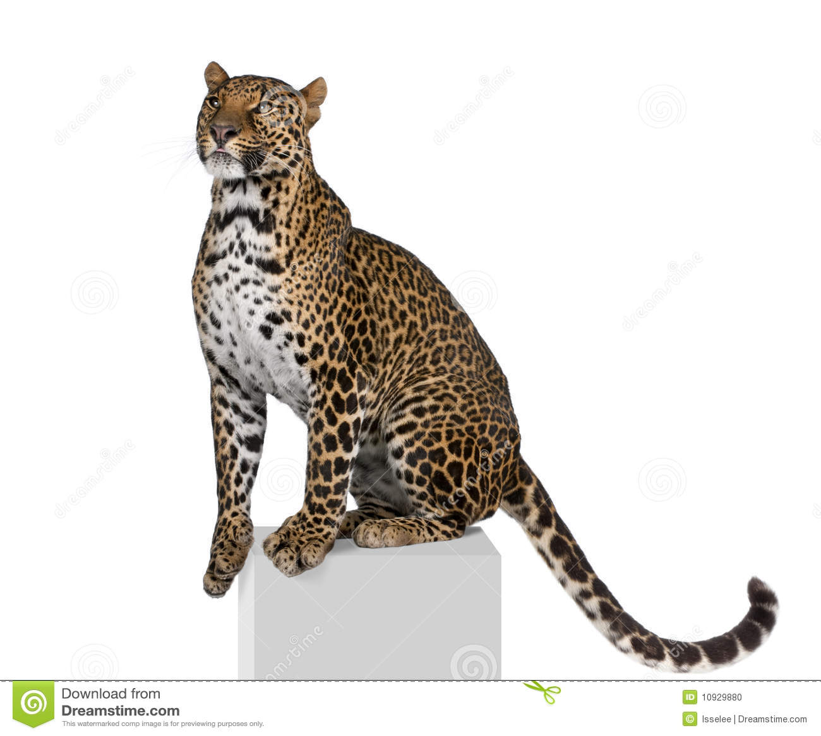 Big Cheetah Looking Cat