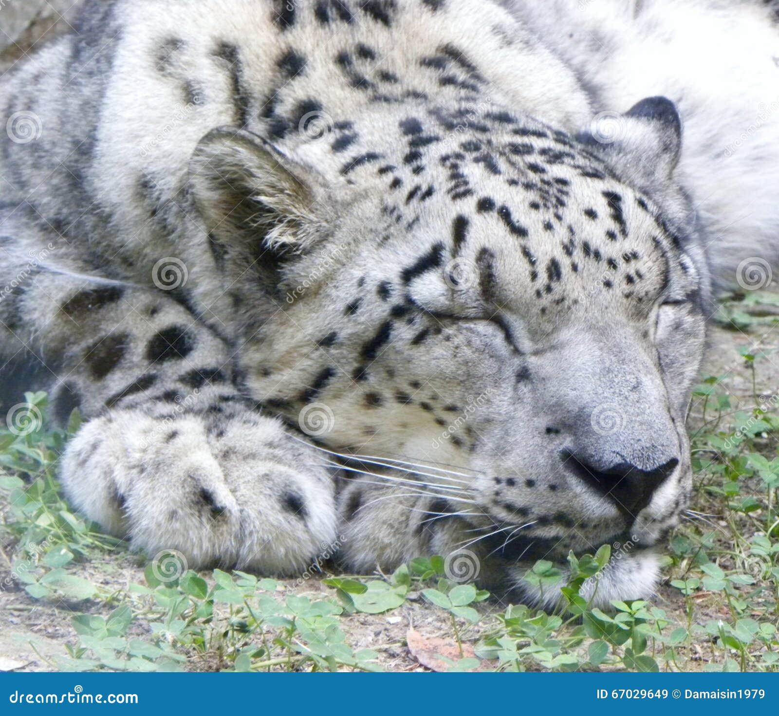 Leopard Sleeping | newhairstylesformen2014.com