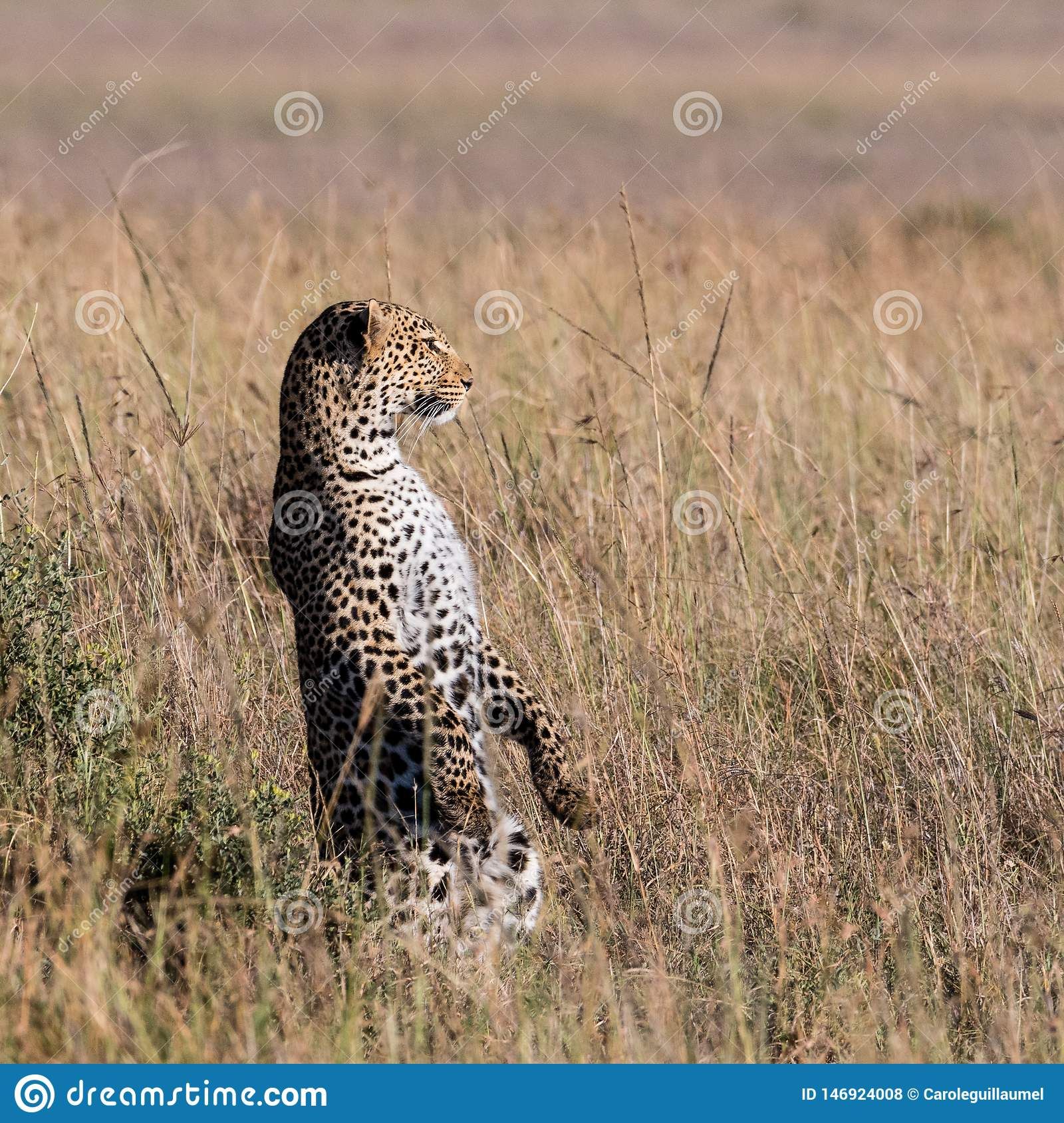 Leopard standing on its hind legs to scan the horizon