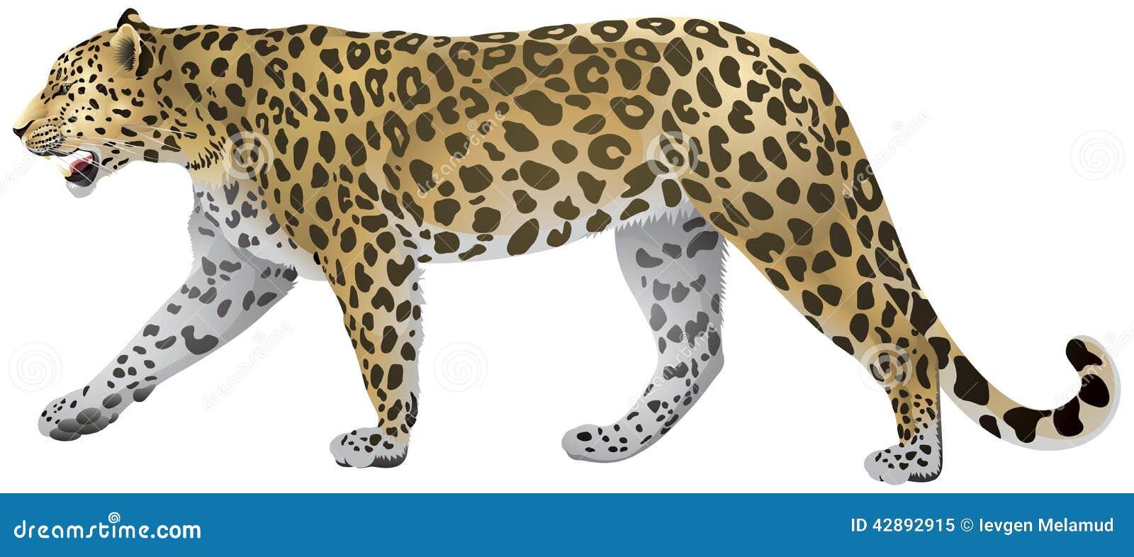 Leopard Walking, wild big cat realistic illustration.
