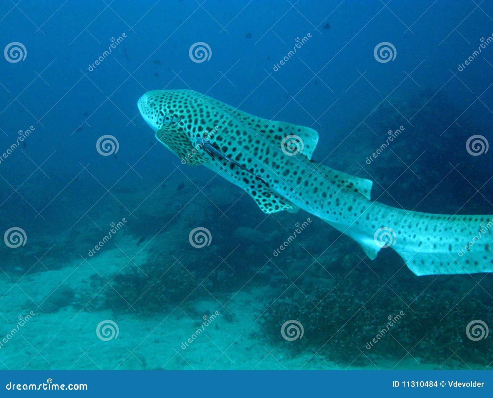 Leopardhaifisch.