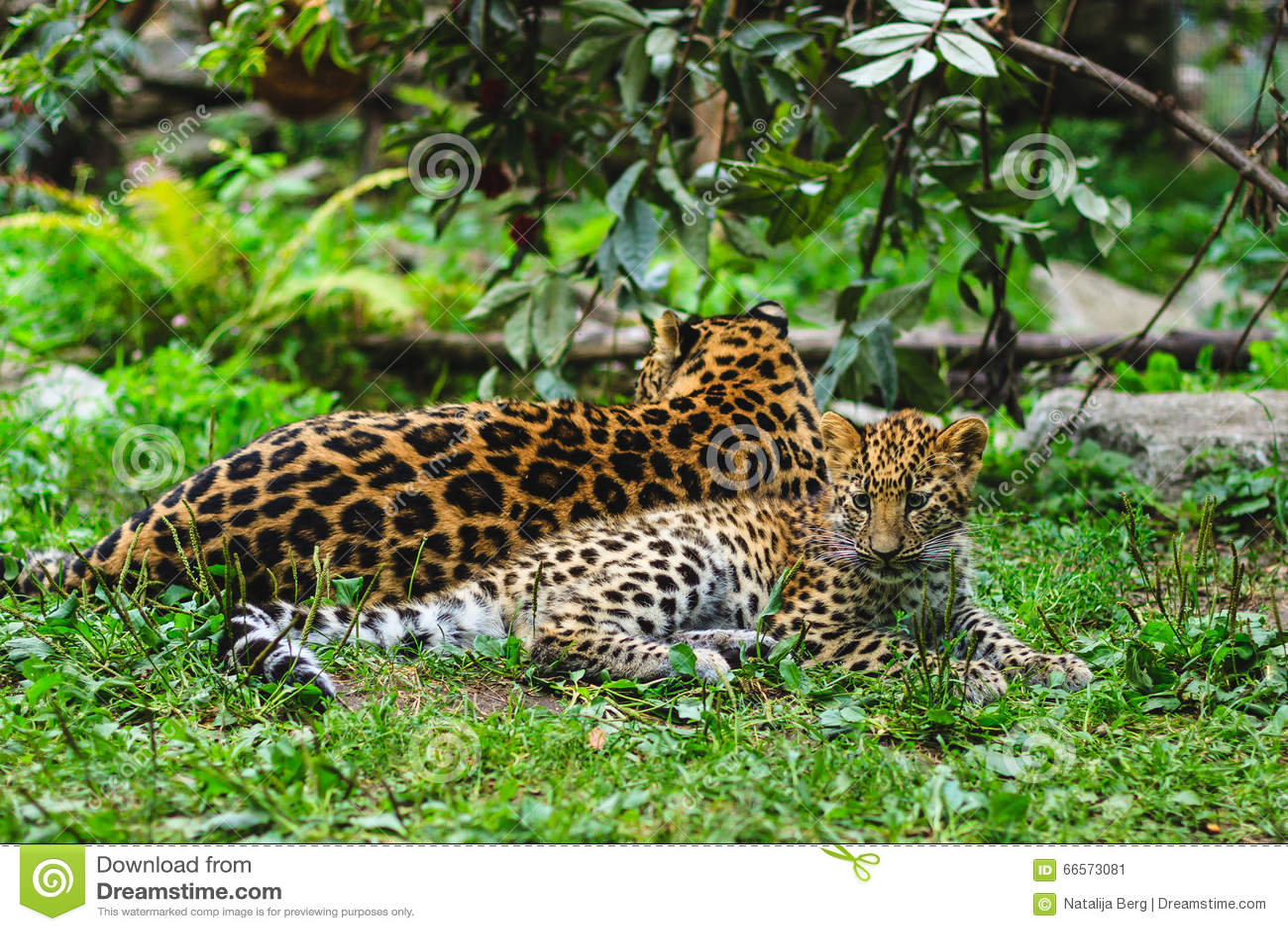 Leopardi dell Amur